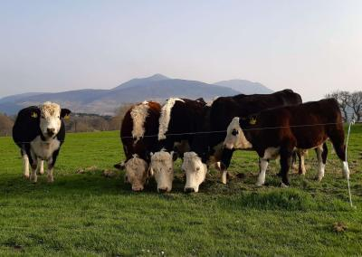 Five cows are standing in a line eating grass cuttings against the backdrop of the mountains