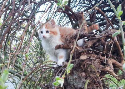 A fluffy ginger and white kitten sits in a willow tree